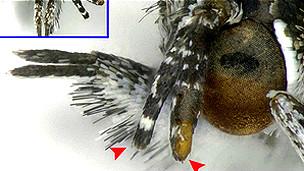 Antena más corta y deforme en una mariposa del área de Fukushima