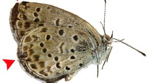 Alas deformadas en un ejemplar de mariposa del área de Fukushima