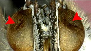 Mariposas del área de Fukushima con hundimientos en los ojos