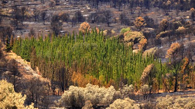 Cipreses mediterráneos que sobrevivieron al incendio en Andilla