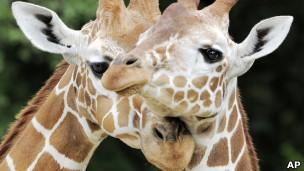 Girafas (Foto: AP)