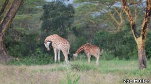 Girafas velando filhote. | Foto: Zoe Muller