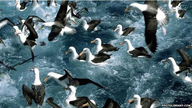 Albatroses