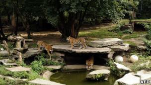 Tigres no zoológico de Colônia, na Alemanha. | Foto: AFP