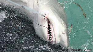 tiburón limón
