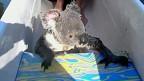 O coala que nadou em direção ao barco (BBC)