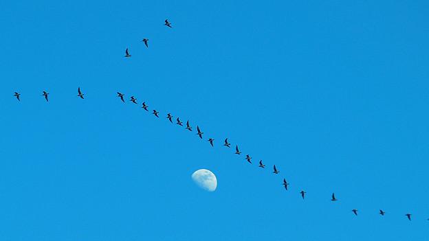 Migración de zarapitos trinadores Foto gentileza Fletcher Smith