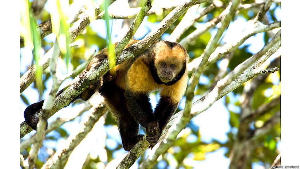 Mono capuchino de pecho amarillo