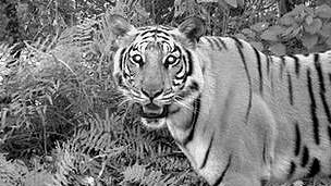 Tigre en el parque Chitwan, Nepal