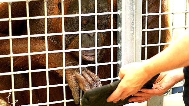 Orangután utlizando una tableta Foto gentileza Orangutan Outreachfor