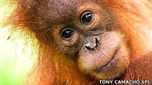 Orangután de Sumatra Foto Tony Camacho SPL