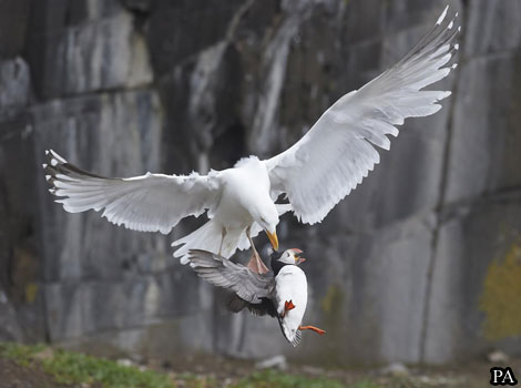 A herring gull plucks a puffin from the ground.