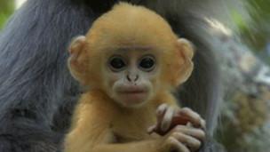 O primata descoberto na República Democrática do Congo (BBC)