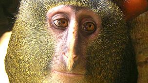 Lesula, nueva especie de mono descubierta en República Democrática del Congo Foto: Hart et al
