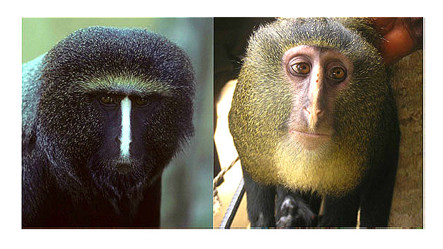 Mono cara de búho, izq, y mono lesula Foto: Hart et al.
