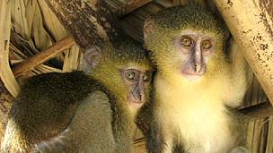 Bebés de mono lesula Foto: Hart et al