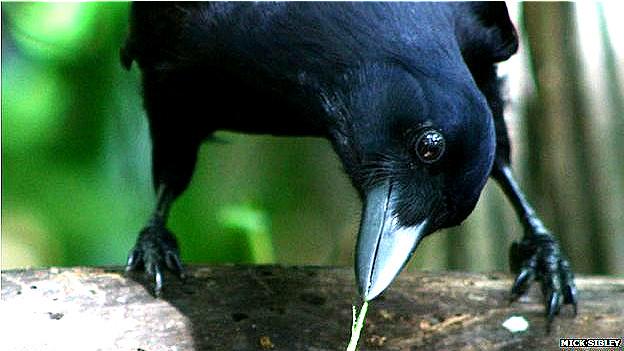 Cuervo en el experimento diseñado por los investigadores de la Univ. de Auckland Foto Mick Sibley