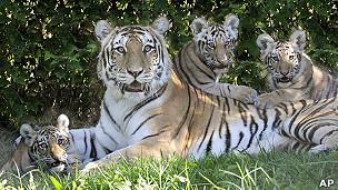 نمور حديقة حيوان برونكس