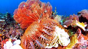 Corona de espinas, estrella de mar invasiva Acanthaster planciFoto SPL