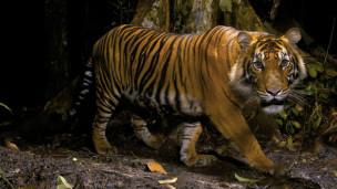 نمر في الحياة البرية