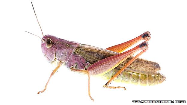 Los saltamontes de la especie Chorthippus biguttulus modifican sus cantos de cortejo debido al ruido del tráfico