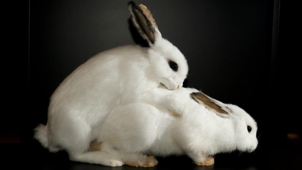 Кроличий секс