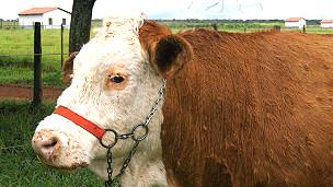 Vitoria, primera vaca clonada por Embrapa en 2001 Foto gentileza Embrapa