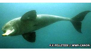 Delfín del Ganges