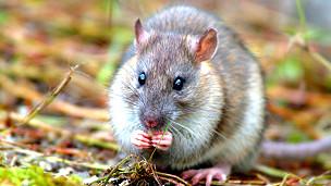 Rata en Georgia del Sur Foto Paula O Sullivan