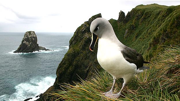 Albatros de cabeza gris Foto Tony Martin