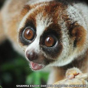 El nuevo primate Nycticebus kayan