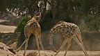 pelea de jirafas