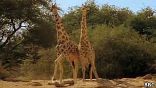 jirafas macho