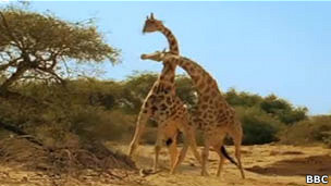 pelea entre jirafas