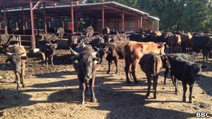Vacas de Yoshizawa