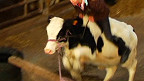 La vaca Fleur y su dueña, Hannah