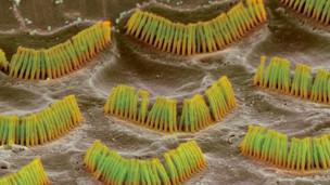 Células ciliadas
