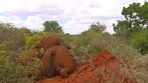 Guardas-florestais encontram corpos de elefantes em parques nacionais do Quênia (BBC)