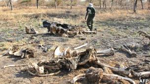 Carcaças de elefantes em foto de arquivo