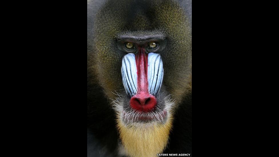 A  vívida coloração facial do mandril masculino (o mamífero mais colorido no reino animal) é usada como demonstração de ameaça entre os membros do grupo. As fêmeas e os jovens têm um focinho azul mais apagado.