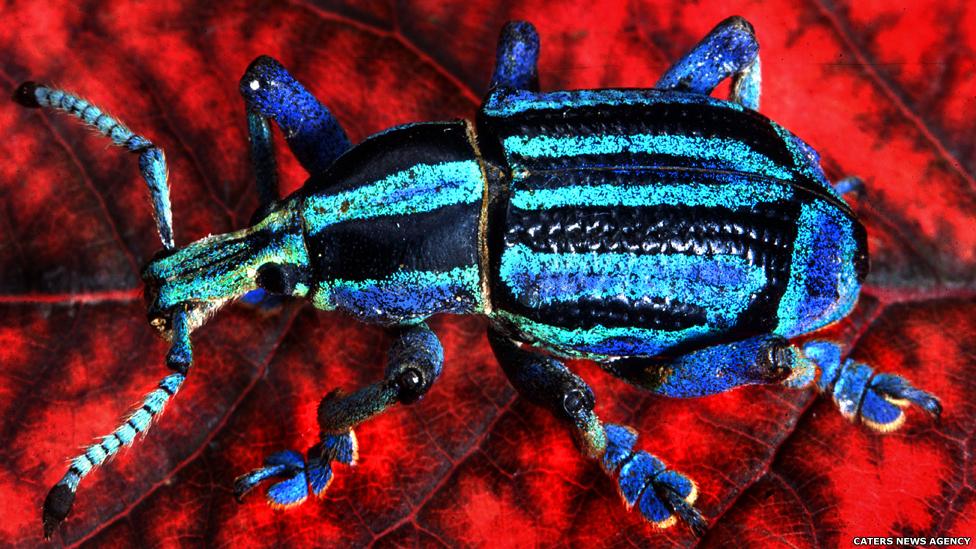 Este besouro tem escamas iridescentes, dando-lhe uma aparência metálica, brilhantemente colorida. A espécie é herbívora e uma comum praga agrícola.