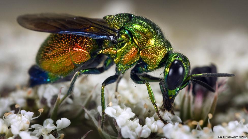 Esta espécie de vespa tem chamativos corpos brilhantes. Ela coloca seus ovos nos ninhos tubulares de uma espécie de abelhas, onde as larvas se alimentam das sobras.