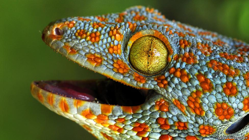As lagartixas Tokay são comumente mantidas como animais de estimação, mas sua mordida feroz as torna potencialmente perigosas.