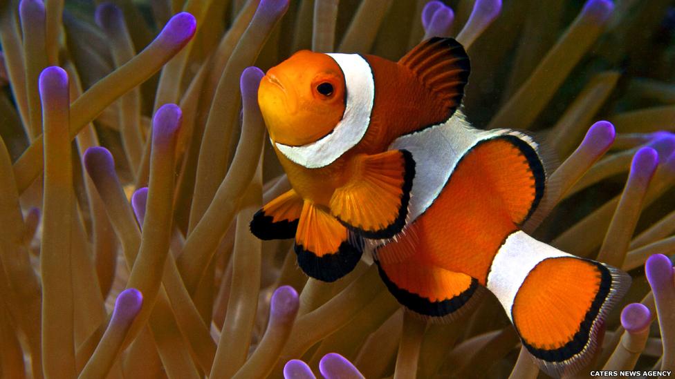 O peixe-palhaço vive em uma relação simbiótica com a anêmona. O limo no corpo do peixe impede que as células urticantes da anêmona o machuquem.