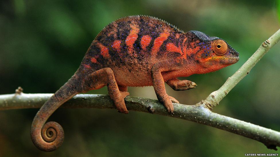 Os camaleões são famosos por sua habilidade de mudar de cor. O camaleão-pantera, do norte de Madagascar, adota uma cor laranja escura quando ameaçado.