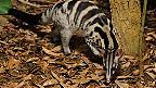 Cầy Owston tại Newquay Zoo