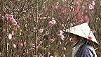 Một nông dân chăm đào ở Nhật Tân hôm 1/2/2013