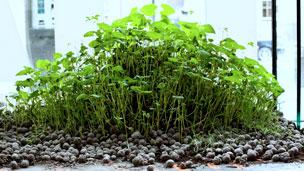 Bombas de semillas germinadas