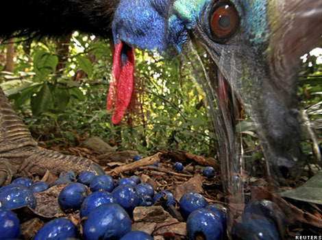 An endangered Southern cassowary feeds on fruit