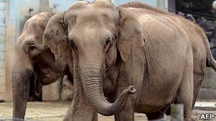 Baby y Nepal, elefantes condenados a eutanasia